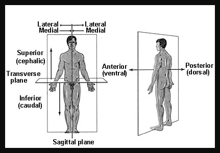 Planos Corporales 16411995 besides 1120 Dr Nand Lal Terminologies Anatomical Positions Anatomical Planes Terms Of Positions together with 3614913 besides Introduction To Anatomy 24214681 furthermore Topic 32853 0. on dorsal and ventral planes