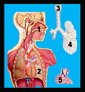 Logo for Anatomy of the Respiratory System