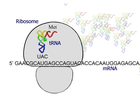 ribosome translation