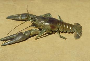 Maryland Biodiversity Project - Common Crayfish (Cambarus ...  |Common Crayfish