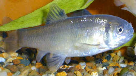 Good Fish Names on Or In Front And Melas Meaning Black In Reference To The Black Head Of