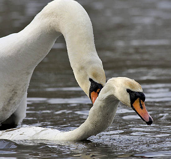Swans    eggs are amon...
