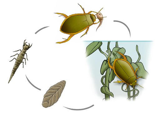 Beetle Reproduction The eggs are usually injected