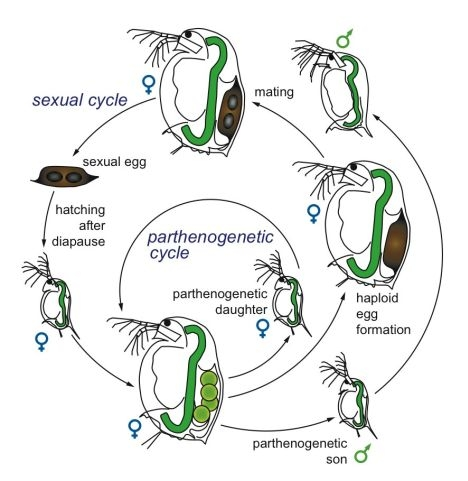 Daphnia magna asexual reproduction