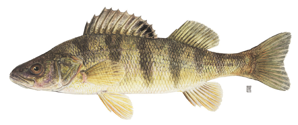 Web page for Perch fish facts