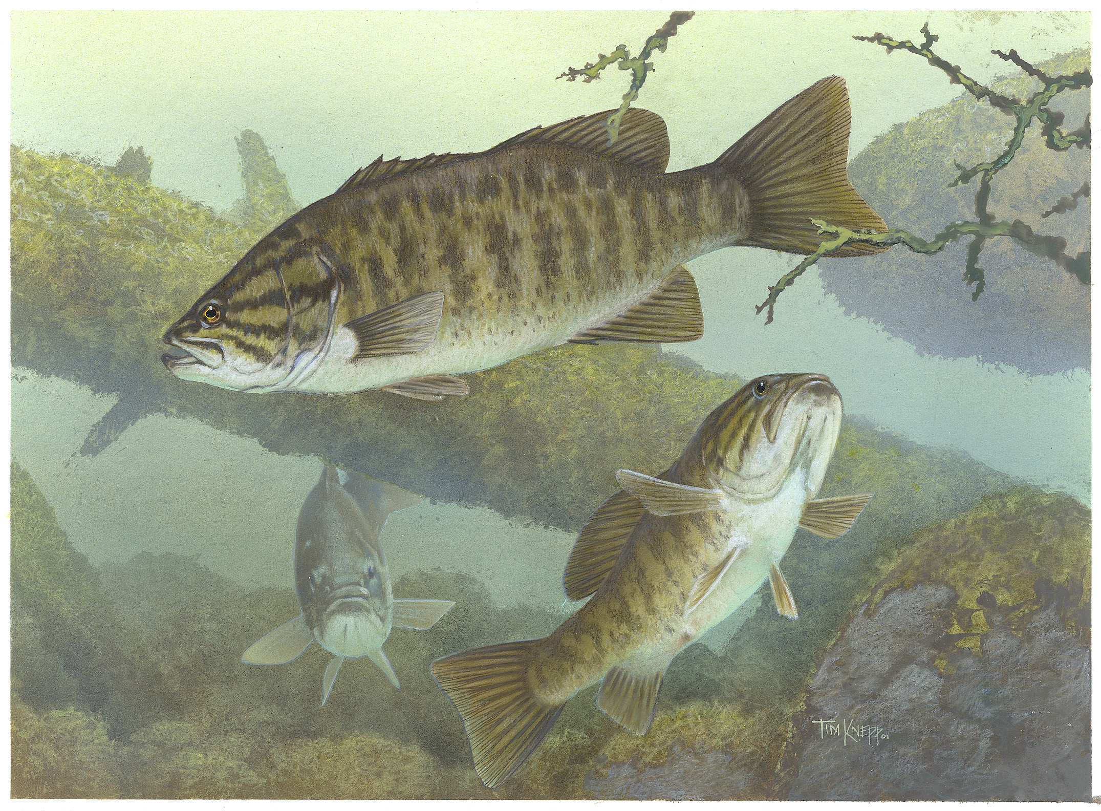 Habitat range characteristics for Bass fish images