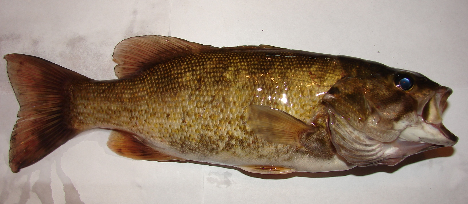 The Smallmouth Bass Is Loaded With Multiple Means Of Sensing Its Environment I Took This