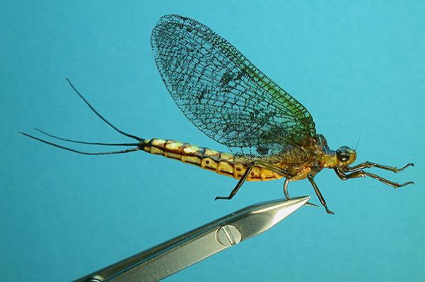 Caddis Flies, Stoneflies, and Mayflies | Tony Smith Photography