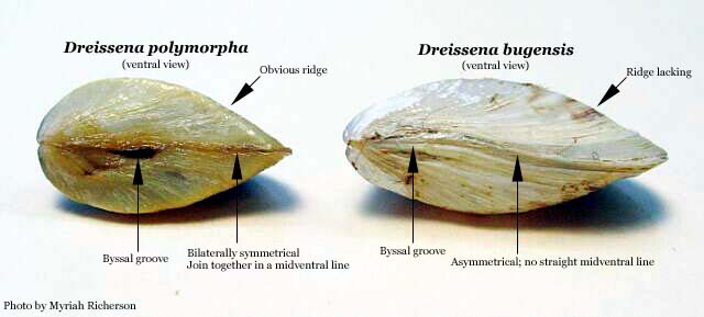 quagga mussel research papers