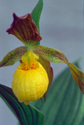Web page yellow ladyslipper orchid used with permission from httpnps mightylinksfo