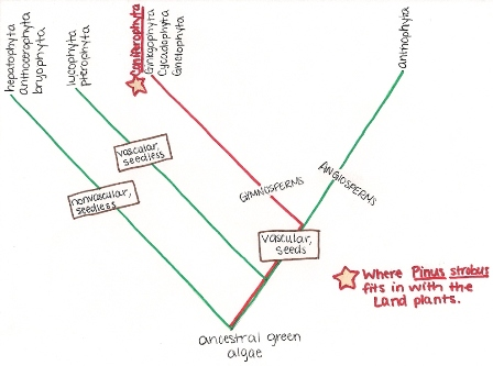 Phylogenetics  Wikipedia