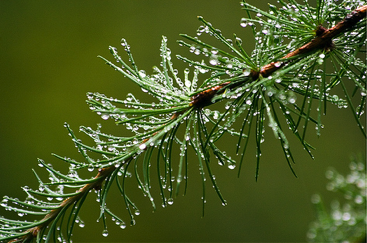 what adaptations do the pine trees have Plant guide plant materials  seedlings can have a year grass stage similar to that of longleaf pines (p  living host trees pine and oak leaves to complete its.