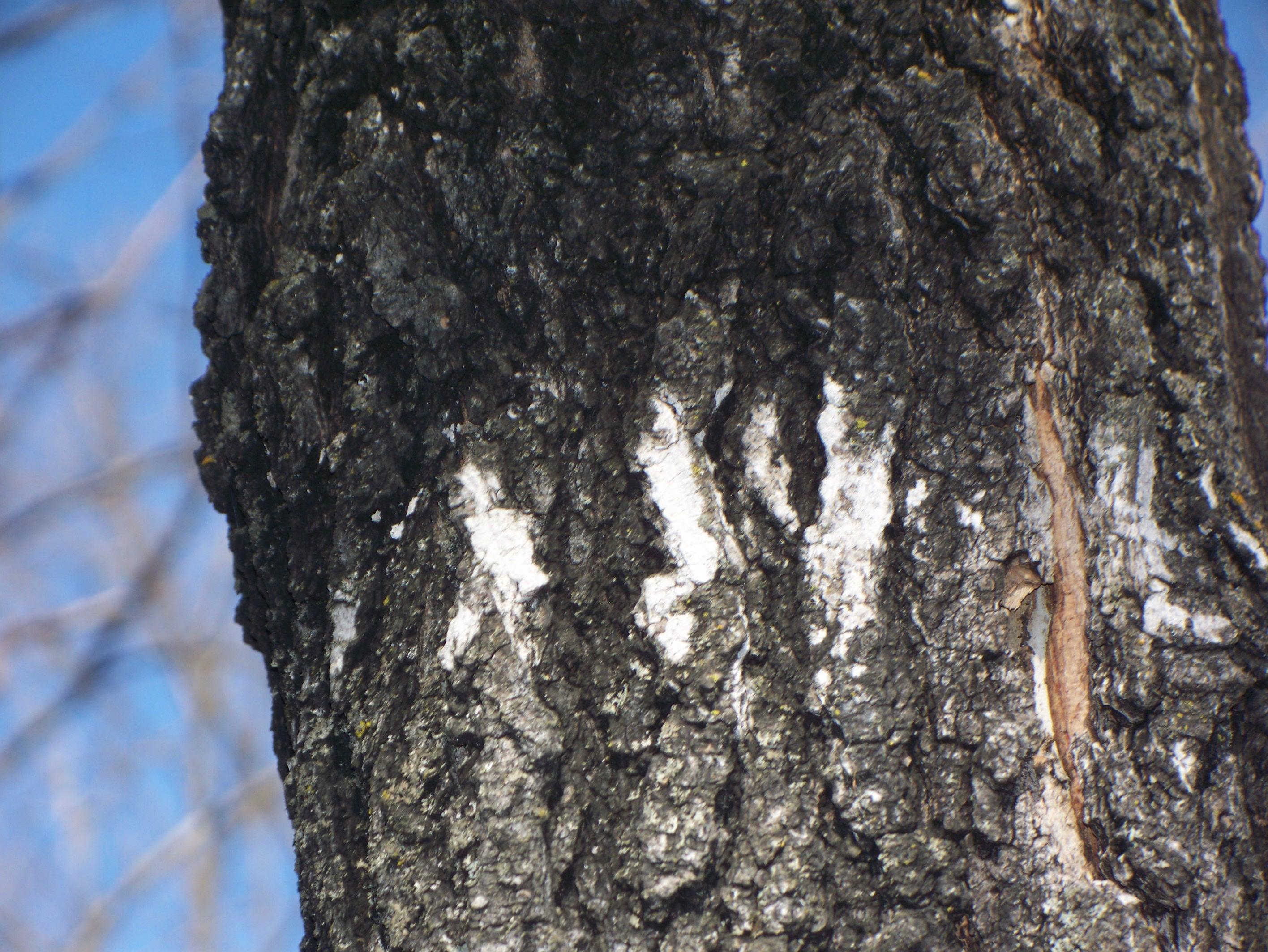 UWL Website - Norway maple bark