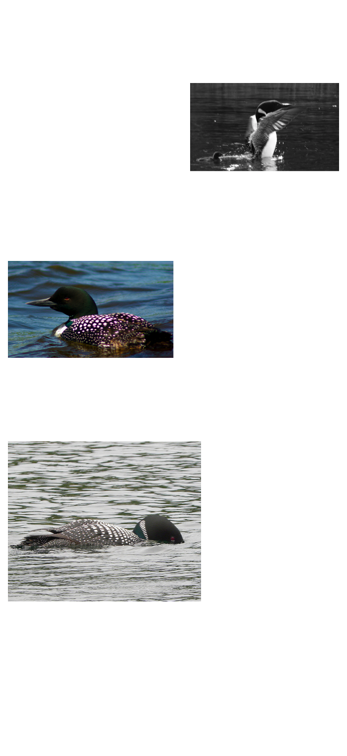 how birds adapt to flying and their environment General adaptations birds reproduction modification for birds,reproduction change incase to alllow bird to weigh less which willl enable birds to flyfor instance ,they keeep their in general most of the species adapt different behaviour because of the environment they.