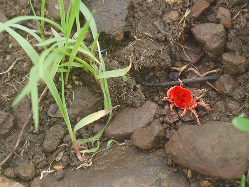 Interesting tidbits on the red velvet mite for All about soil facts
