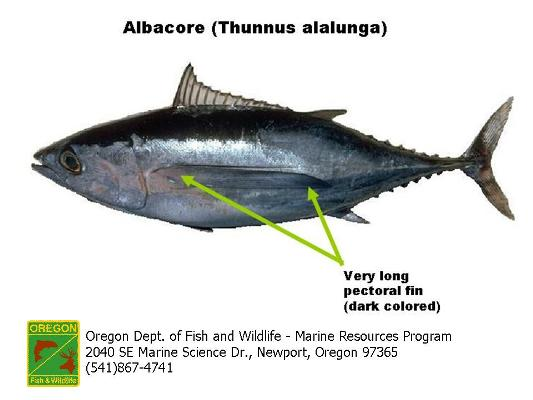 Thunnus alalunga albacore tuna adaptations some cool for Does tuna fish have scales