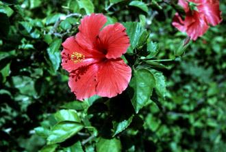 Hibiscus Rosa Sinensis Shoeblackplant Medicinal Purposes