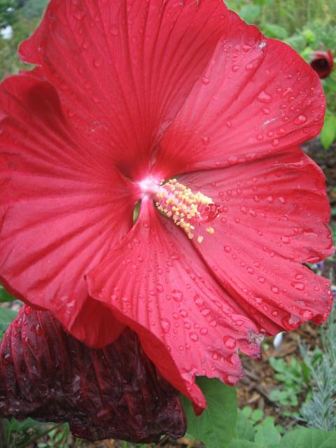 Hibiscus Rosa Sinensis Shoeblackplant Habitat