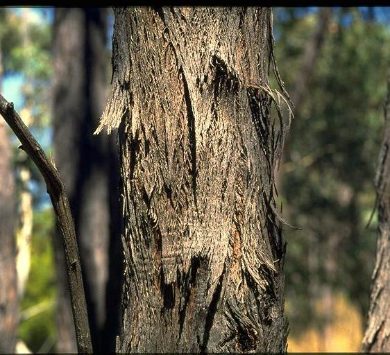 Eucalyptus Dives Broad Leaf Peppermint Gum Nutrition