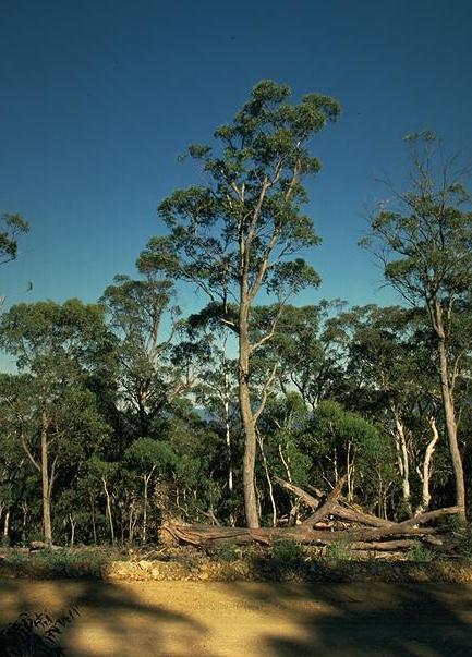 Eucalyptus Dives Broad Leaf Peppermint Gum Home