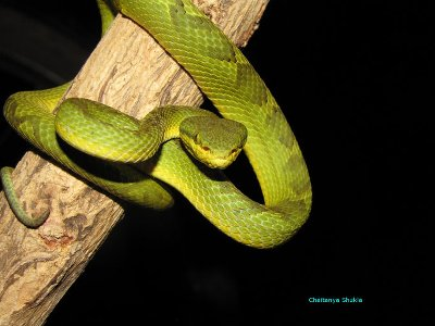 The Bamboo Pit Viper Facts