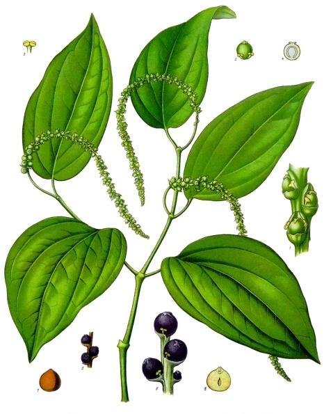 Black Pepper Seed Black Pepper Piper Nigrum