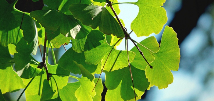 Ginkgo Biloba The Maidenhair Tree Improving Health One Person At