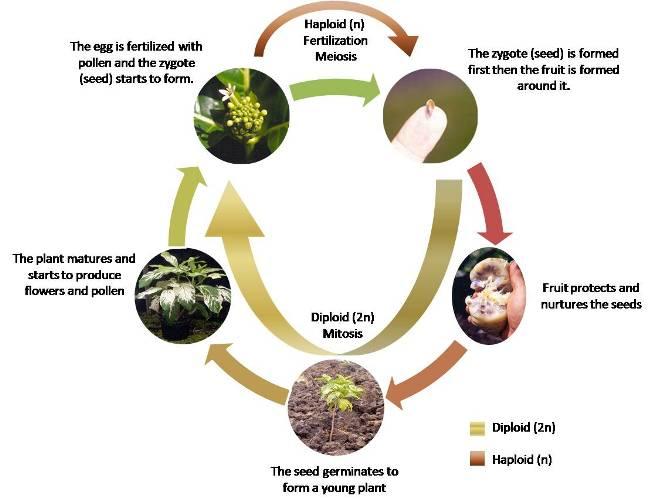 emerald ash borer life cycle