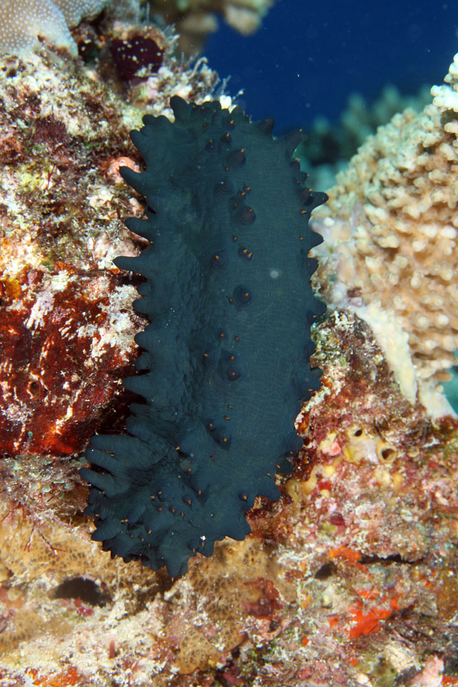 Stichopus Chloronotus Is A Species Of Holothurian Or Sea Cucumber