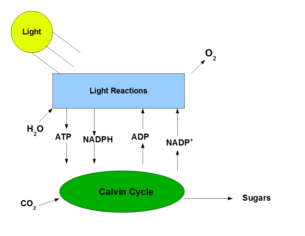 photosynethesis cycle diagram A schematic diagram of c3 and c4 photosynthesis open-i limits the c4 photosynthetic cycle supercharges photosynthesis by concentrating co2.