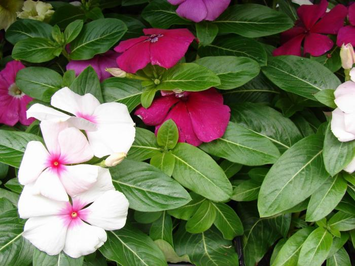 catharanthus roseus, the madagascar periwinkle, reproduction, Natural flower