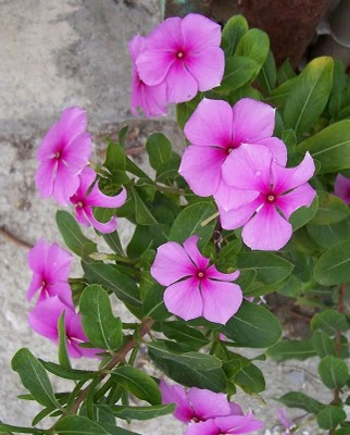 Catharanthus roseus the madagascar periwinkle the pretty pink let the journey begin mightylinksfo