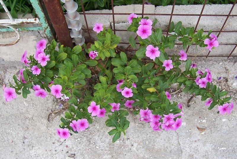 Catharanthus roseus the madagascar periwinkle nutrition next see how the rosy periwinkle mightylinksfo