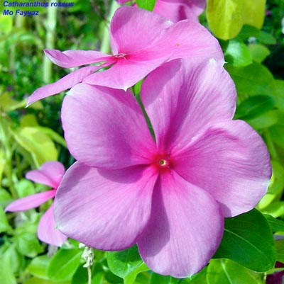 Catharanthus roseus, The Madagascar Periwinkle, Classification