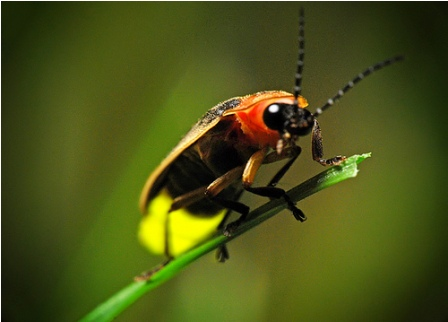 Photuris Pennsylvanicus The Pennsylvania Firefly Is One Of Almost 2000 Spec