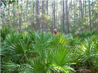 Habitat Of Saw Palmetto