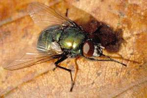 yup - How To Get Rid Of Common Green Bottle Fly