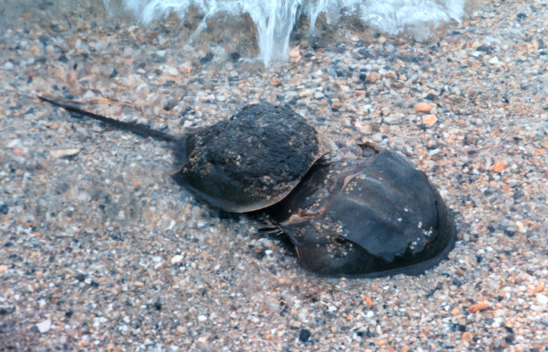 Limulus polyphemus: Atlantic Horseshoe Crab~ Reproduction