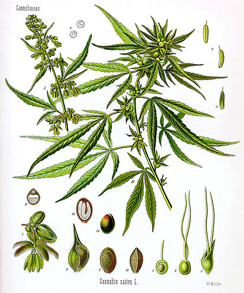 Medical Marijuana ( Cannabis sativa X indica ): bioweb.uwlax.edu/bio203/2011/williams_spen/reproduction.htm