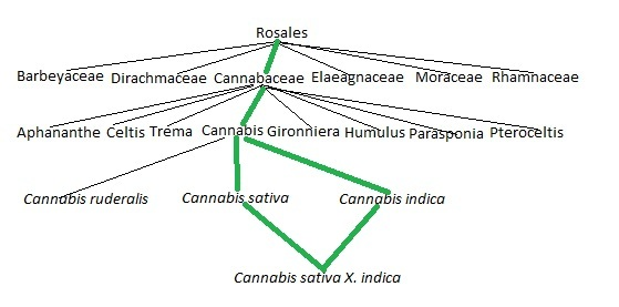 cannabis sativa x indica  medical marijuana