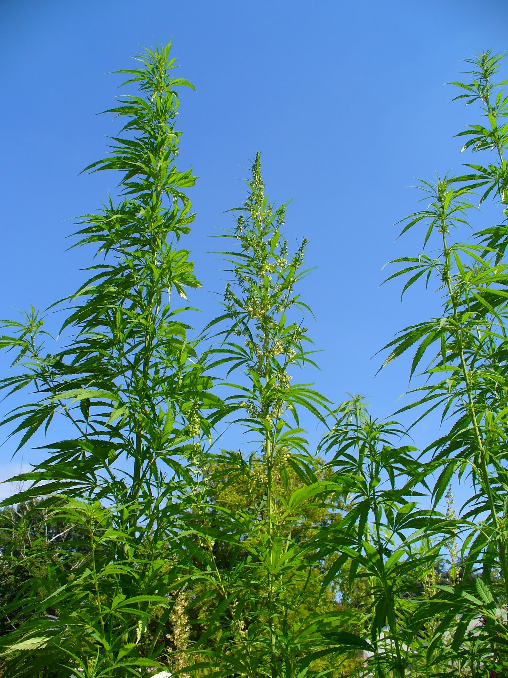 Cannabis sativa x indica medical marijuana for Plant de cannabis exterieur