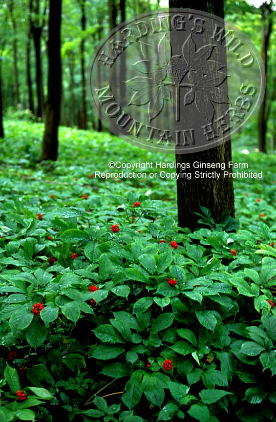 ginseng habitat and uses The health-promoting properties associated with consumption of american   given optimal habitat conditions, american ginseng may attain the four or five.
