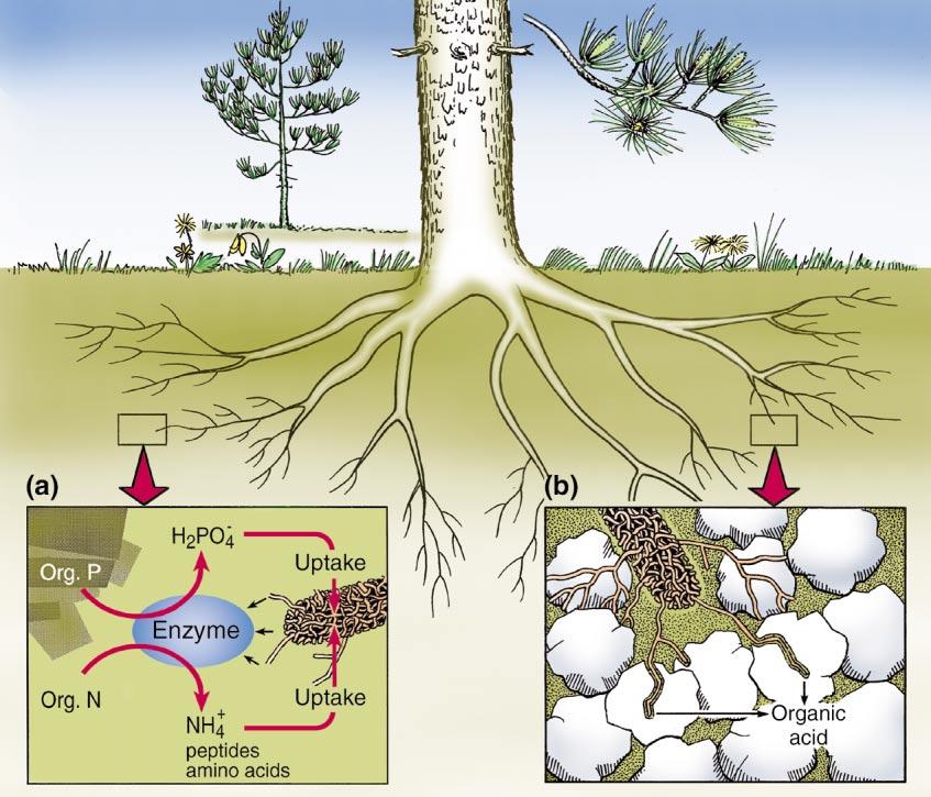 arbuscular or ectomycorrhizal relationship