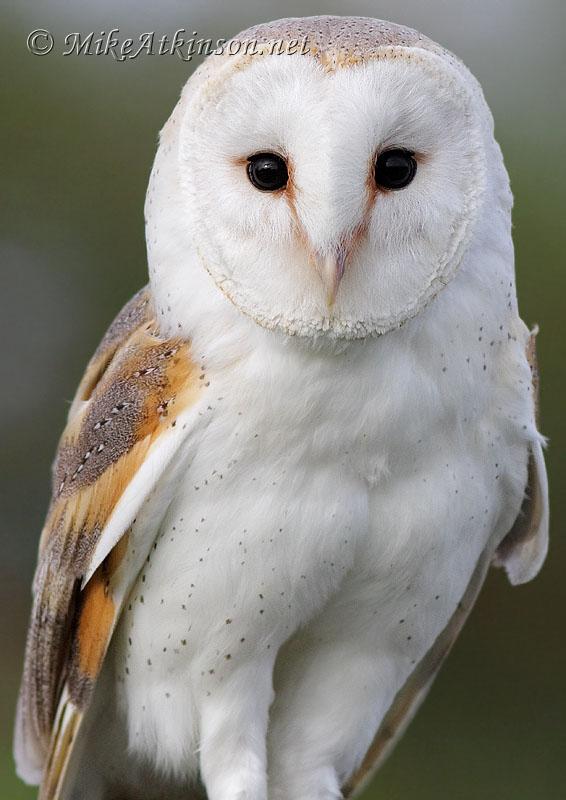 Barn owl - Wikipedia