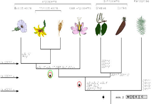 *orchids are monocots and do not undergo secondary growth like eudicots do   this phylogeny shows the divergence of monocots from eudicots occurring