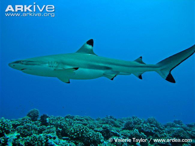 Blacktip Reef Shark - Home