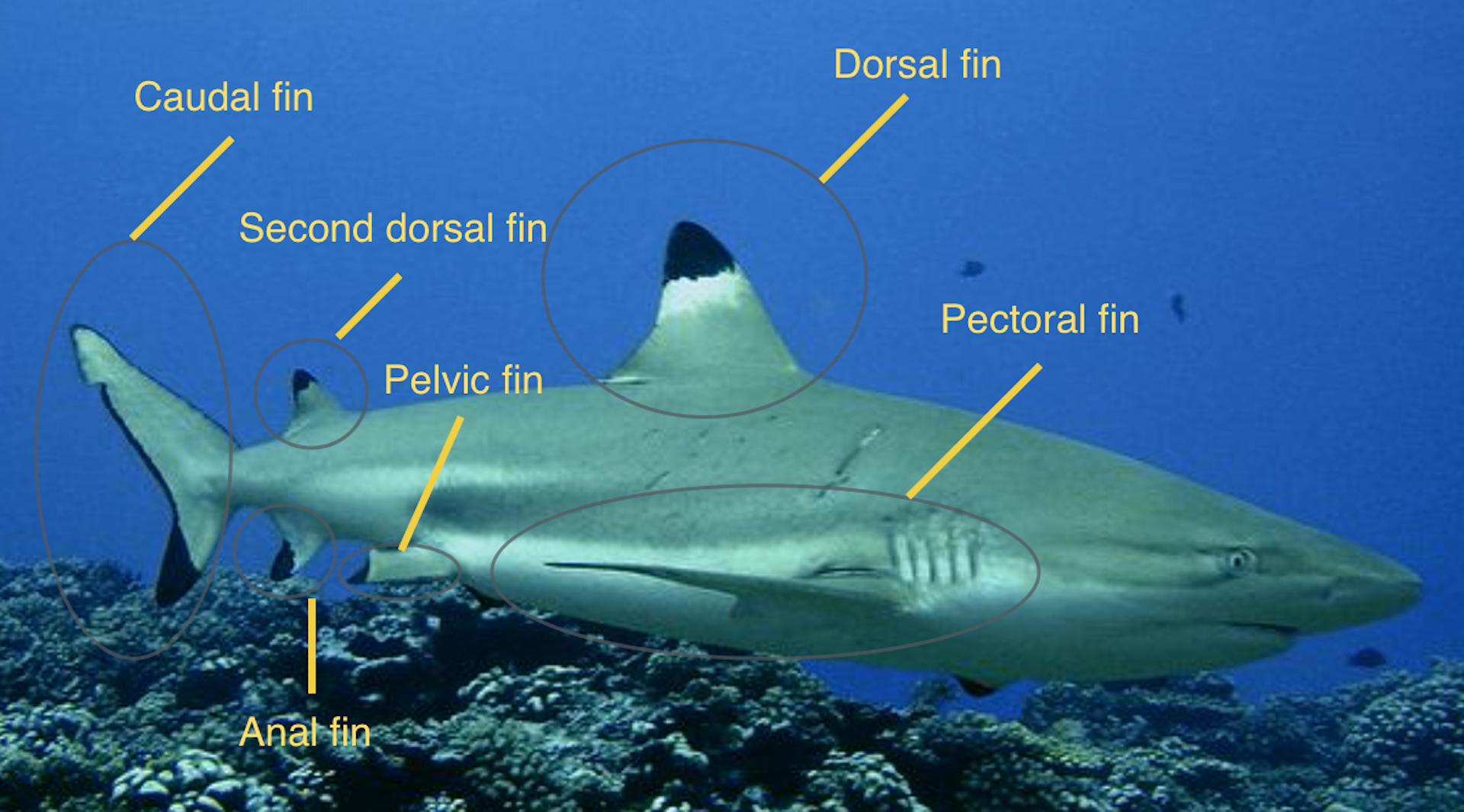 Blacktip Reef Shark - Adaptation