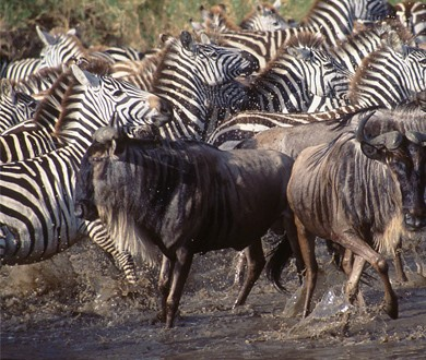 zebras and wildebeests relationship help