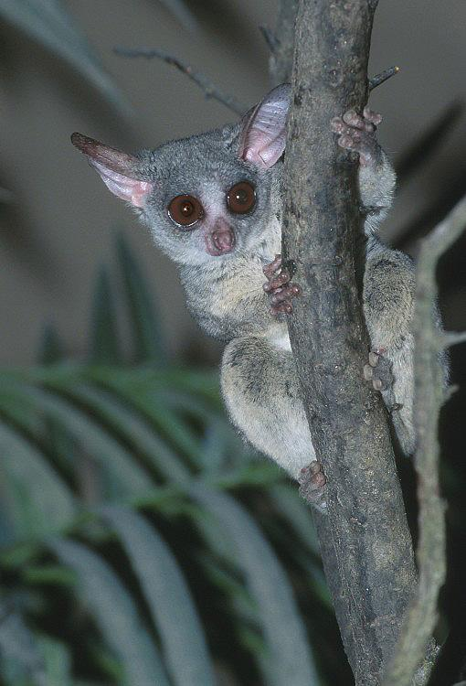 Image result for A galago on a tree