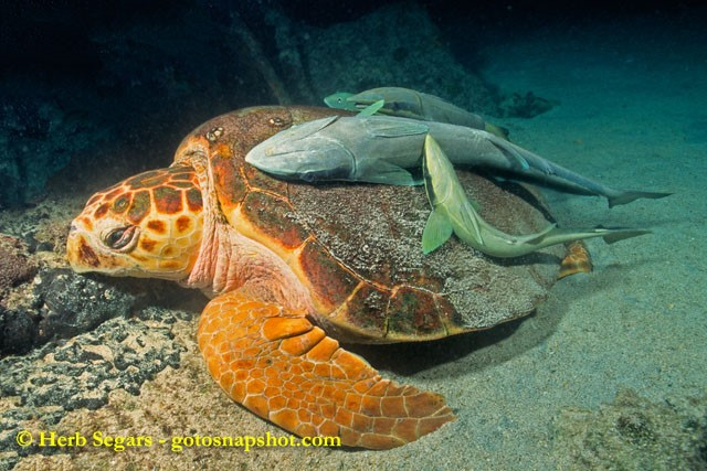 Loggerhead Sea Turtle - Interactions